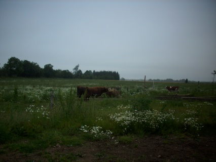 Kvægene